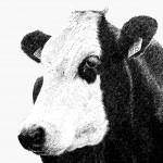 35.000 koeien komen om in sneeuwstorm VS
