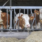 In Nieuw-Zeeland gaat de melkprijs weer dalen