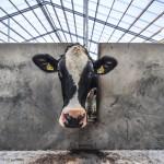 Ook Fonterra verlaagt melkprijs