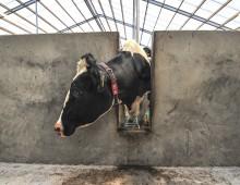 Een klik met koe no. 93160